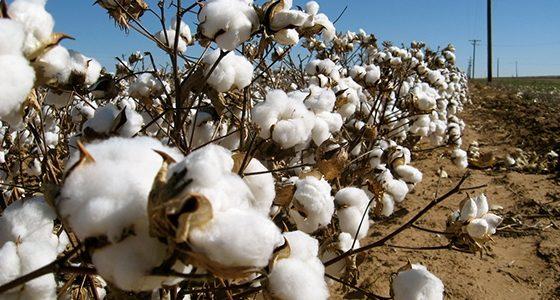 Ξεσηκωμός και αναστάτωση στους βαμβακοπαραγωγούς του Έβρου και της Ροδόπης από την κυβερνητική κοροϊδία στο θέμα της συνδεδεμένης – Κατάθεση Επίκαιρης Ερώτησης